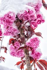 Kirschblüten im Schnee (stefangruber82) Tags: snow schnee alps alpen tirol tyrol cherry flower blüte cherryblossom