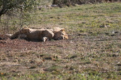 (DriPhoto77) Tags: canon 1dx 70200mm safari lion faune herbe saison animal animals green animaux world planete monde forest foret usm iso ef70200mm