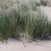Elymus farctus