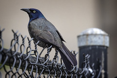 Common Grackle 2019 (John Hoadley) Tags: commongrackle niagarafalls ontario 2019 may canon eosr 100400ii f56 iso125 bird