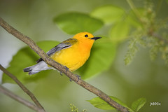 Prothonotary Warbler (jt893x) Tags: 150600mm bird d500 jt893x nikon nikond500 prothonotarywarbler protonotariacitrea sigma sigma150600mmf563dgoshsms songbird warbler alittlebeauty coth thesunshinegroup coth5 sunrays5