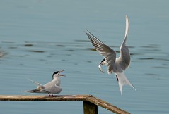 Arctic Terns exchanging  a fish (haroldmoses) Tags: 2y3a11821 arcticterns belfast northernireland rspbbelfastlough flickrbirds