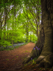 Tolkien tree... (Lee Harris Photography) Tags: tolkien tree woods woodland lordoftherings magical ethereal foliage tranquil trees green colourful colours outdoor nature light trunk shade bluebell wood forest