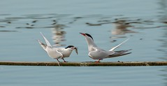 Arctic Terns exchanging a fish (haroldmoses) Tags: 2y3a11961 arcticterns rspbbelfastlough flickrbirds 2y3a11961jpg
