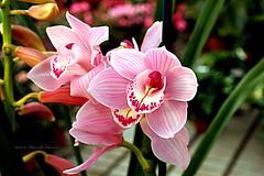 orchidea cymbidium rosa (Adriano_2 on-off) Tags: vegetali piante fiori orchidee cymbidium petali rosastriati mostra monteporziocatone