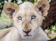 TAZAMA (rodrigoazeidan) Tags: bigcat cat lioncub lion natgeo animals animal nature wildlife bigcatconservation africa ngc
