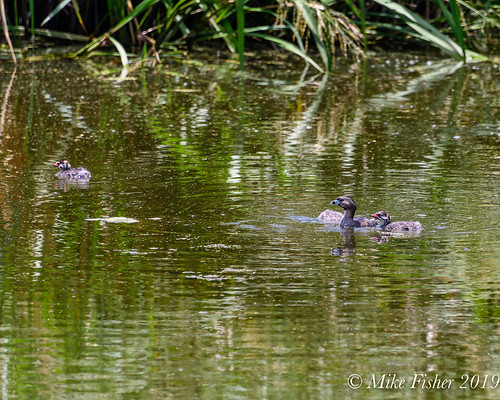 Mother Grebe and Her Chicks