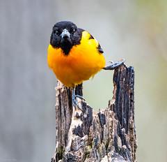 Baltimore Yogi (Digital Rebels) Tags: baltimoreoriole yogi bird migration orange black stump beak fly pose rondeau provincial park