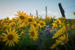 DSC_8224 (Justin Knott) Tags: dalles mountain ranch nikon d800 columbia gorge portland washington flowers balsamroot fence sunset yellow hills state park