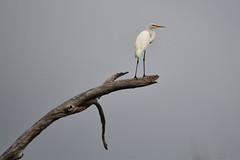 Great Egret (philk_56) Tags: australia northern territory kakadu national park yellow water wetlands bird great egret