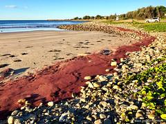 Rhodophyta Red Weed Algal Bloom Residue - Crowdy Head Surf Club, Crowdy Head, Mid North Coast, NSW (Black Diamond Images) Tags: crowdyheadbeach crowdybay crowdyheadsurfclub crowdyhead midnorthcoast crowdybaynationalpark manningvalley australia eastcoast nsw redweed redalgae algae algalbloom redalgalbloom rhodophyta rhodophytasp australianbeaches beach beaches coastallandscapes seascapes barringtoncoast landscapes appleiphonex iphonexbackcamera appleiphone iphone ipomoeapescapraesspbrazilliensis beachmorningglory goatsfootconvolvulus ipomoea