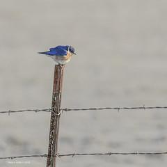 Bluebird Singing in the key of HFF! (jackalope22) Tags: hff bluebird wire sweet marsh