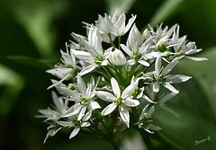 Wild Garlic (Eleanor (No multiple invites please)) Tags: flower wildgarlic wildflower canonsparklake stanmore uk nikond7200 105mmmacrolens may2019 whiteflower