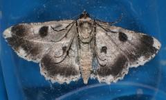 Hugger Moth Cleora sp Boarmiini Ennominae Geometridae Teenas rainforest Airlie Beach P1050211 (Steve & Alison1) Tags: hugger moth geometridae teenas rainforest airlie beach cleora sp boarmiini ennominae