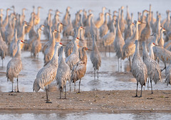 Sandhill Crane Migration (RWGrennan) Tags: sandhill crane sunrise platte river water reflection migration gibbon nebraska kearney rowe travel wow bird roost midwest grus canadensis nikon d610 tamron 150600 light sun nature thousands rwgrennan rgrennan ryan grennan ne buffalo county iain nicolson audubon center sanctuary first birds sand bar