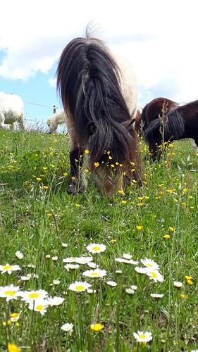 Bio Blumenwiesen für unsere Ponies