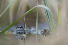 Common Frog and Toad (Daniel Trim) Tags: amphibian nature hitchin hertfordshire breeding spawning common frog rana temporaria toad amplexus bufo
