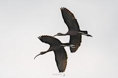 _5ND8030_LR_LOGO (Ray 'Wolverine' Li) Tags: hongkong bird birding watch asia nature wildlife plegadisfalcinellus threskiornithidae pelecaniformes plegadis brauner sichler ibis