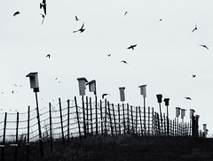HFF from the Purple Martins (marianna armata) Tags: purple martin swallow bird box house row fence hff bw monochrome graphic mariannaarmata