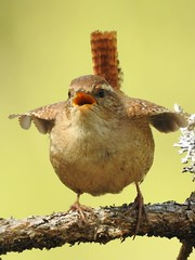 Wren (Troglodytes troglodytes) (eerokiuru) Tags: wren troglodytestroglodytes zaunkönig strzyżyk käblik nikoncoolpixp900 p900 bird wildlife nature birding vogel
