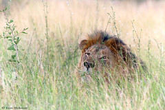 Not always easy to spot (leendert3) Tags: leonmolenaar wildlife southafrica krugernationalpark nature wilderness naturereserve mammal africanlion naturethroughthelens ngc npc coth5