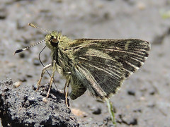 Pepper and Salt Skipper - Amblyscirtes hegon (annette.allor) Tags: butterfly grass skipper nature wildlife