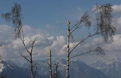 Devastazione (lincerosso) Tags: alberi trees betulla betulaalba eventieccezionali devastazione orizzonte bellezza armonia