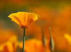 California poppy. (Jill Bazeley) Tags: eschscholzia californica california poppy sony paso robles wine country central alpha a6300 70300mm fe wildflowers botanical wildflower state flower orange colorful