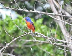 Fake Bird? (Jim Johnston (OKC)) Tags: paintedbunting bird wichitamountainswildliferefuge southwest oklahoma tree