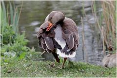 Greylag goose - Grågås (www.nielsdejgaard.dk) Tags: grågås gås goose greylaggoose kagsmosen bird fugl