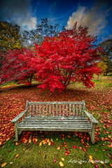 Autumn Splendour (Adrian Evans Photography) Tags: grass autumn landscape bench restingplace outdoor hagoromo fall clouds garden hdr lawn acer seat tree leaves adrianevans japanesemaple scarlet sky trees red bush purple fence