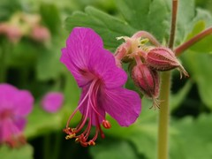 Geranium (Mellisapix) Tags: pinkflowers pink geranium green wildflowers nature ecosystems plantlife