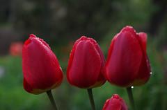 IMGP8150 (PahaKoz) Tags: весна природа флора сад цветение цветы вечер spring nature flora garden blossom bloom blossoming flowers evening even eventide тюльпаны тюльпан tulips tulip красный red