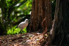 Bubulcus ibis (busitskee) Tags: birds trees jupiter canon canon6dmark2 canon6d animal wild wildlife bird nature outdoor travel israel