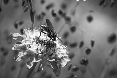Dots (David M. Stucki) Tags: dancefly tanzfliege blackandwhite black macro makro fliege fly wallis valais switzerland schweiz flower blume schwarzweiss schwarz weiss natur nature canon canoneos60d efs60mm