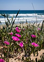 levante (*BegoñaCL) Tags: playa mar sea mediterráneo flower water uñadegato begoñacl