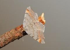 Tawny-barred Angle Moth (Macaria liturata) (Nick Dobbs) Tags: tawnybarred angle macaria liturata insect dorset nocturnal geometridae ennominae