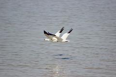 Two snow geese flying over the water (pegase1972) Tags: goose geese oie oies nature bird snowgeese flying licensed dreamstime eyeem shutter shutterstock oiseau
