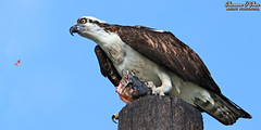 """PTOOEY!"" (Shannon Rose O'Shea) Tags: shannonroseoshea shannonosheawildlifephotography shannonoshea shannon osprey bird beak feathers wings birdyfeet claws talons bluesky catfish fish catchoftheday yelloweye pandionhaliaetus hawk birdofprey birdwithprey prey lakeapopkawildlifedrive apopka florida nature wildlife raptor outdoors outdoor outside colorful colourful camera flickr wwwflickrcomphotosshannonroseoshea smugmug art photo photography photograph wild wildlifephotography wildlifephotographer wildlifephotograph femalephotographer girlphotographer womanphotographer shootlikeagirl shootwithacamera throughherlens birdphotographer naturephotographer closeup close canon canoneos80d canon80d canon100400mm14556lisiiusm eos80d eos 80d 80dbird canon80d100400mmusmii 2019 whiskers siluriformes"
