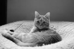 Beauty :) (pukilin) Tags: nikond3100 35mm bw cat mycat grano grain