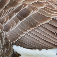 Canada Goose (the.sullivan) Tags: canadagoose branta canadensis goose honk olympus m43 feathers sussex piltdown