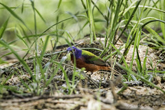 _MG_7888.80D.20190504-Edit (Scott Sanford Photography) Tags: 80d canon ef14xiii ef100400mmf4556lii eos hillcountry marblefalls naturalbeauty naturallight nature outdoor paintedbunting texas wildlife birds songbird spring