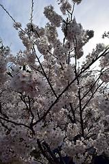 DSC_0118-61 (jjldickinson) Tags: nikond3300 109d3300 nikon1855mmf3556gvriiafsdxnikkor promaster52mmdigitalhdprotectionfilter washingtondc cherry tree flower bloom blossom