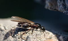 Flying Ant (edhendricks27) Tags: insect ant macro canon nature