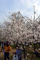 DSC_0117-61 (jjldickinson) Tags: nikond3300 109d3300 nikon1855mmf3556gvriiafsdxnikkor promaster52mmdigitalhdprotectionfilter washingtondc cherry tree flower bloom blossom