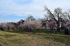 DSC_0112-61 (jjldickinson) Tags: nikond3300 109d3300 nikon1855mmf3556gvriiafsdxnikkor promaster52mmdigitalhdprotectionfilter washingtondc cherry tree flower bloom blossom