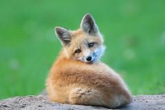 Fox Kit (overthemoon3) Tags: fox foxkit wildlife nature spring
