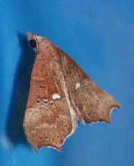 2 spot concorde moth Axiocteta oenoplex Catocalinae Erebidae Noctuoidea Airlie Beach rainforest P1050580 (Steve & Alison1) Tags: 2 spot concorde moth axiocteta oenoplex catocalinae erebidae noctuoidea airlie beach rainforest