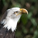 bald eagle 02 - Cleveland Museum of Natural History