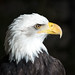 bald eagle 03 - Cleveland Museum of Natural History